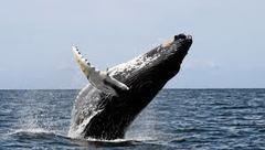 苫小牧樽前と博多湾のコマッコウクジラ、大阪湾のザトウクジラ