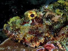 カサゴは、海底で藻類や岩に擬態して敵や獲物の目をあざむく。