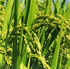 RK独立党員鈴木氏の手による茨城産「農薬不使用・肥料不使用」の2013年産米(玄米)が手に入ります。