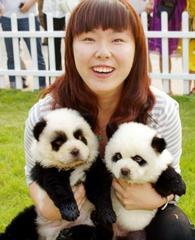 中国の皆さん、チャウチャウ犬を染色、脱毛してパンダ犬を作るのはやめませんか?