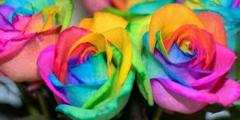 七色のバラ。造花ではありません。生花です。