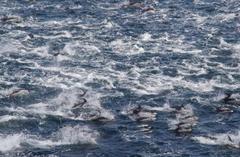 丹後半島の沖合にイルカ500頭