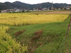 京都の米農家、UD党員からのメールです。まだ、新米少し残っている模様です。